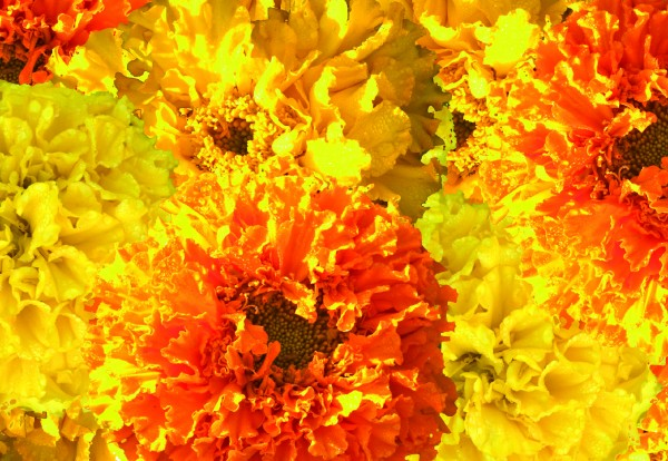 Tagetes erecta Crush Guys and Dolls Mix