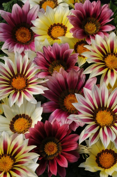 Gazania rigens F1 New Day Strawberry Shortcake
