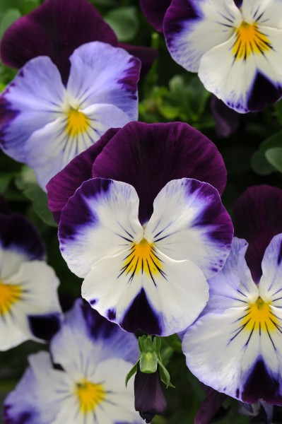Viola wittrockiana  F1 Cool Wave Violet Wing