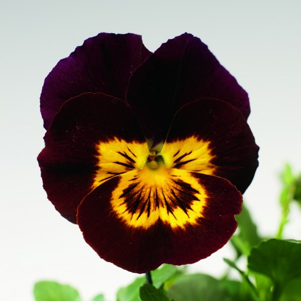 Viola cornuta F1 Penny Red with Yellow Face