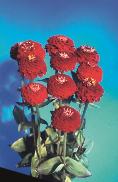 Zinnia elegans Queeny Deep Red