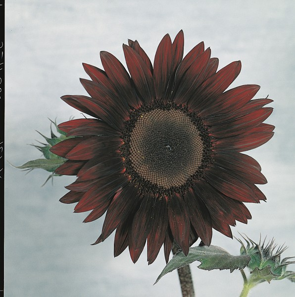 Helianthus annuus F1 Moulin Rouge