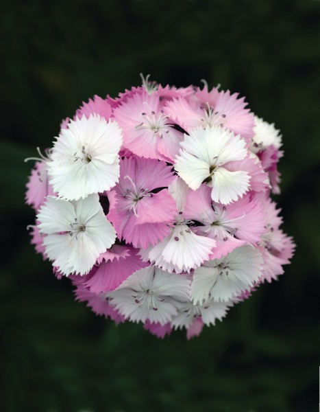 Dianthus barbatus F1 Sweet Pink Magic, pilliert