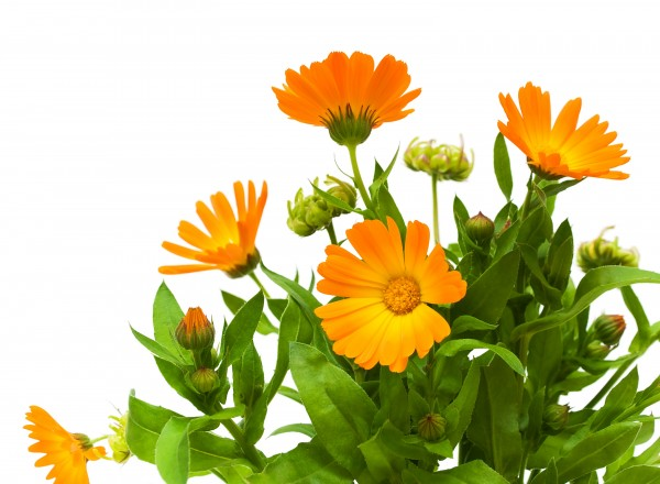 Calendula officinalis Balls Orange