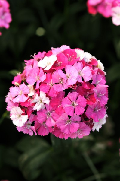 Dianthus barbatus F1 Amazon Rose Magic, pilliert