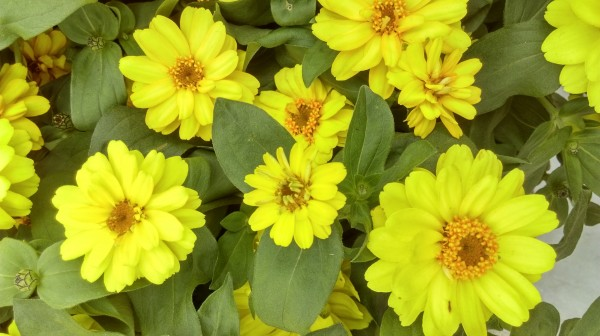 Zinnia angustifolia F1 Profusion Double Gelb