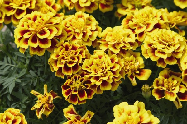Tagetes patula Safari Yellow Fire