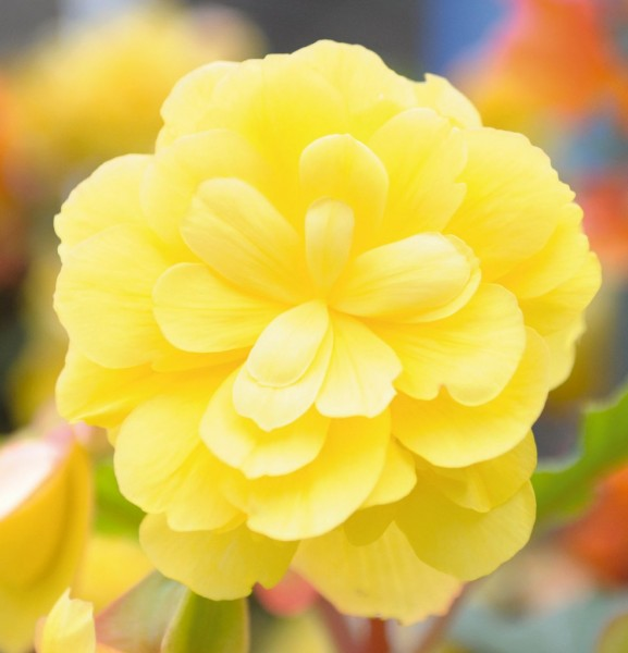 Begonia tuberhybrida F1 Illumination Lemon
