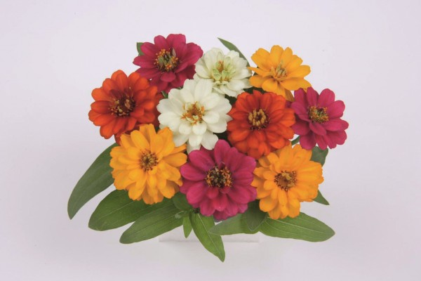 Zinnia angustifolia F1 Profusion Double Mix