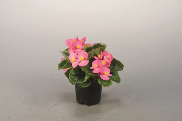 Begonia semperflorens F1 Super Olympia Tiefrosa