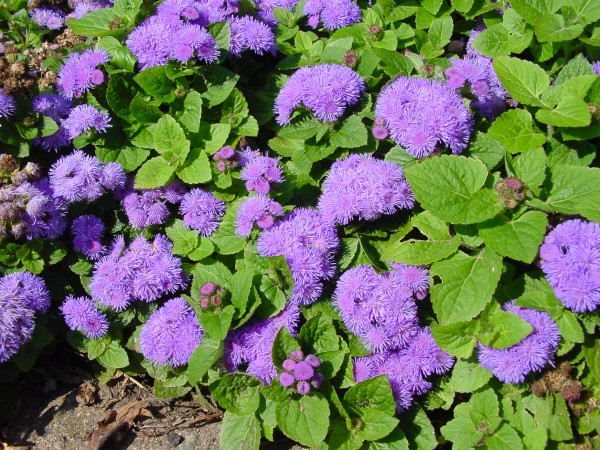 Ageratum mexicanum Market Growers Blue
