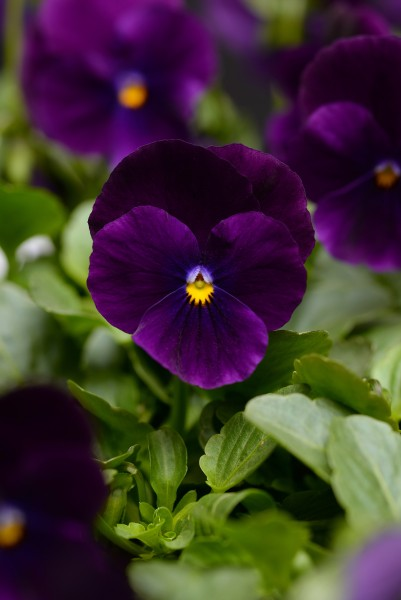 Viola cornuta F1 Sorbet XP Purple