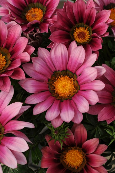 Gazania rigens F1 New Day Pink Shades