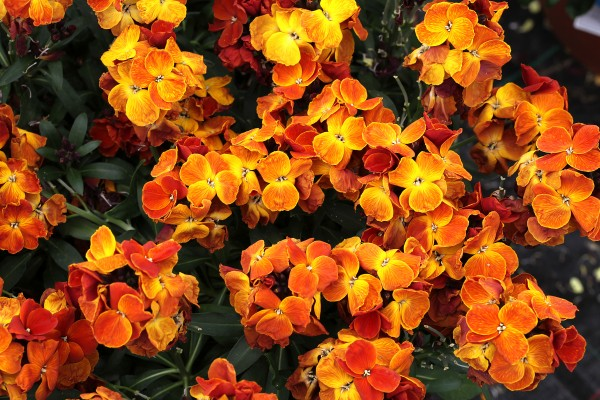 Erysimum cheiri F1 Sugar Rush Orange