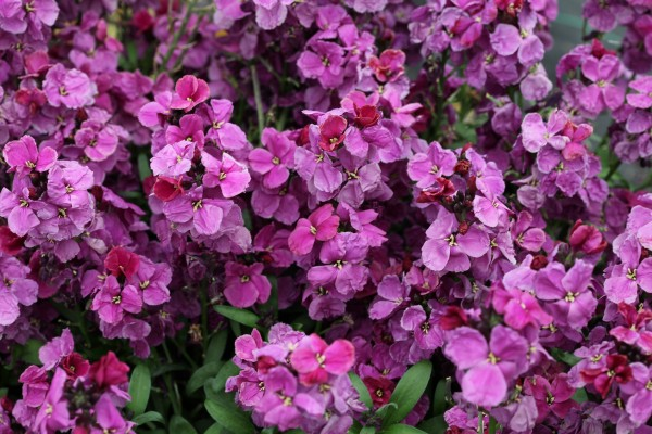 Erysimum cheiri F1 Sugar Rush Purple Bicolor