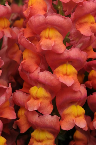 Antirrhinum majus Maryland Orange