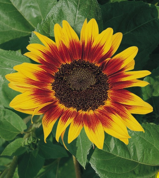 Helianthus annuus Ring of Fire