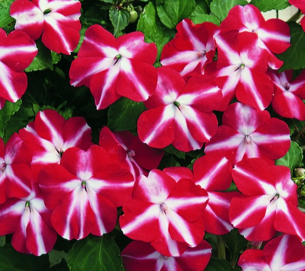 Impatiens walleriana F1 Accent Red Star