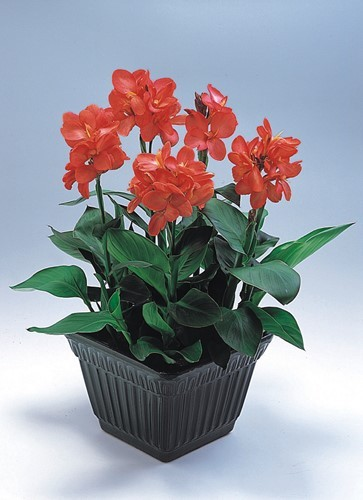 Canna indica Tropical Lachs