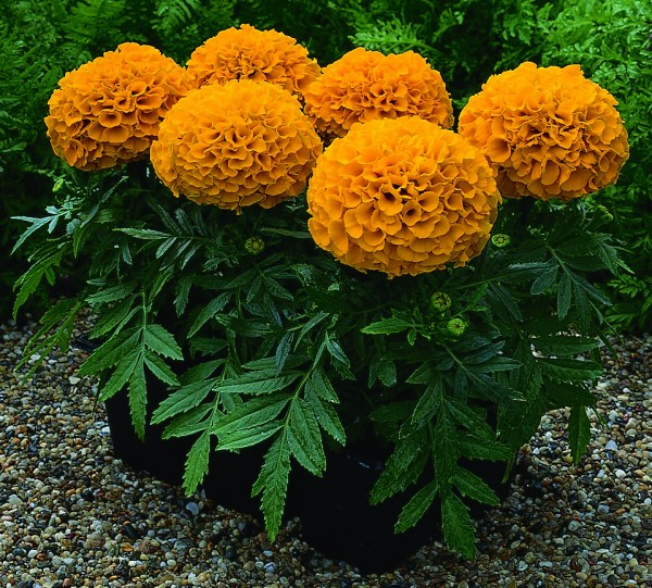 Tagetes erecta F1 Antigua Orange