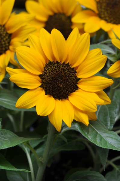 Helianthus annuus F1 Miss Sunshine