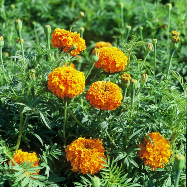 Tagetes erecta Maxi Orange