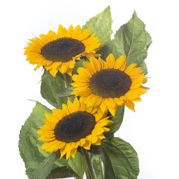 Helianthus annuus Premier Upface Orange