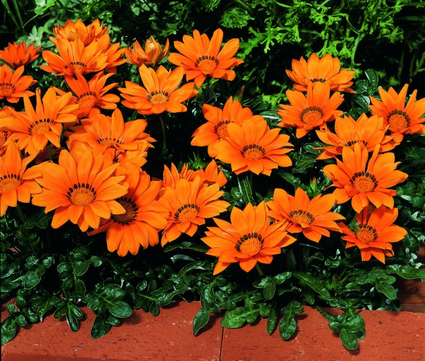 Gazania rigens Kiss Orange Flamme