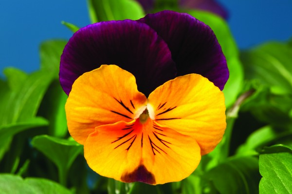 Viola cornuta F1 Penny Orange Jump up