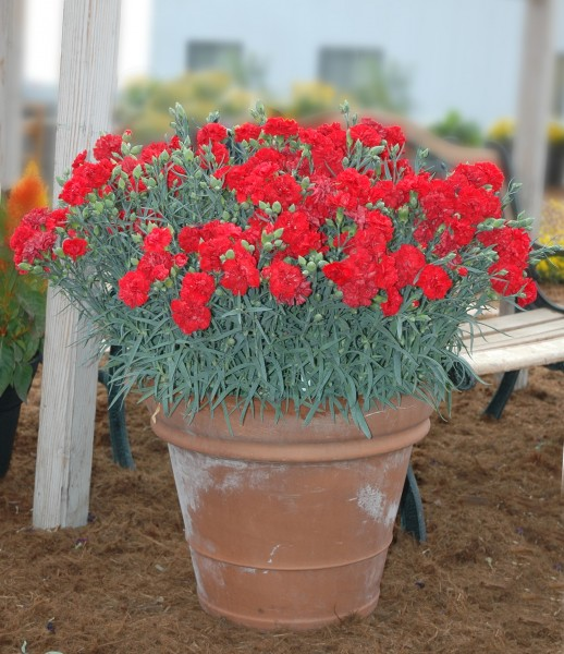 Dianthus caryophyllus F1 Can Can Scarlet