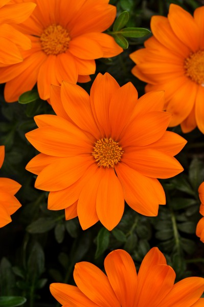 Gazania rigens F1 New Day Clear Orange