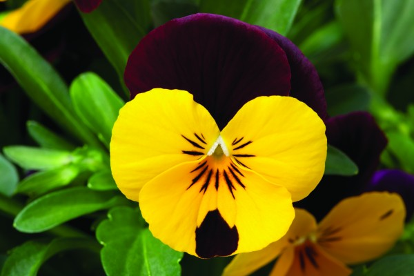 Viola cornuta F1 Penny Yellow Red Wing