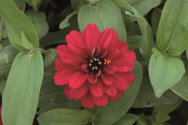 Zinnia angustifolia F1 Profusion Double Hot Cherry