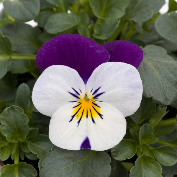 Viola cornuta F1 Sorbet XP White Jump Up