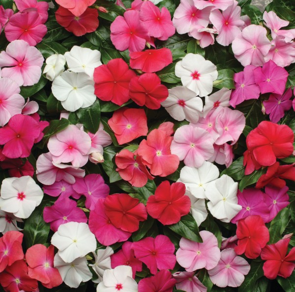 Catharanthus roseus F1 First Kiss Mischung