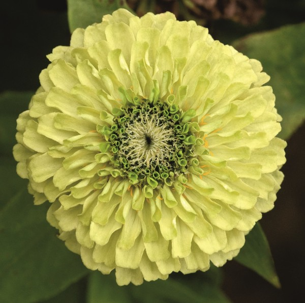 Zinnia elegans Queeny Lime