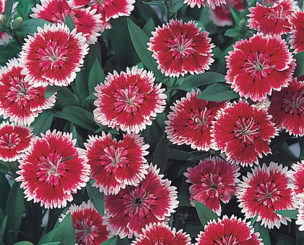 Dianthus chinensis F1 Telstar Picotee