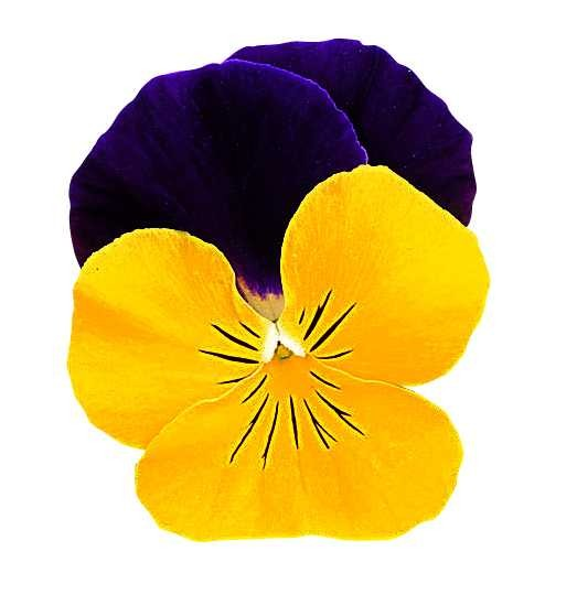 Viola cornuta Grandissimo F1 Yellow Jump up
