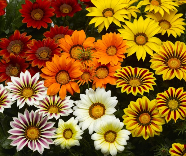 Gazania rigens Big Kiss Mix