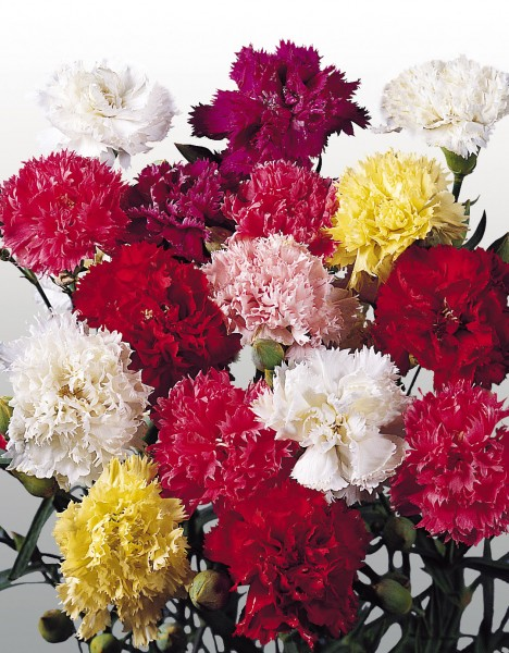Dianthus caryophyllus Chabaud Mustermischung