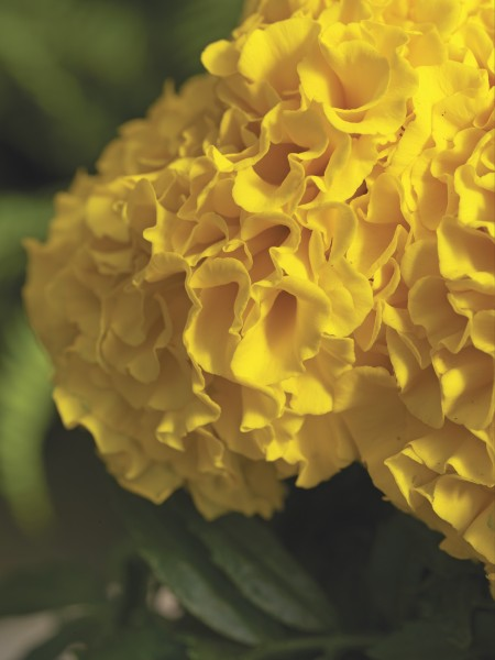 Tagetes erecta F1 Antigua Gold